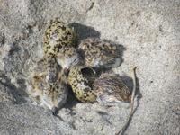 Te Arai Dotterel egg and chicks