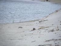 Dotterel chicks at Te Arai Stream