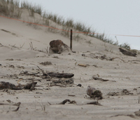 Dotterel chick survives storm.