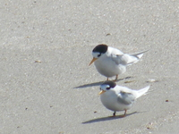 Fairy terns at Te Arai Stream 2012.